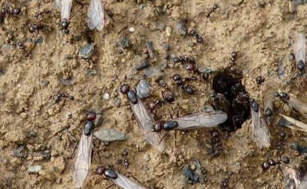 hormigas con alas