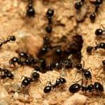 mudanza de hormigas