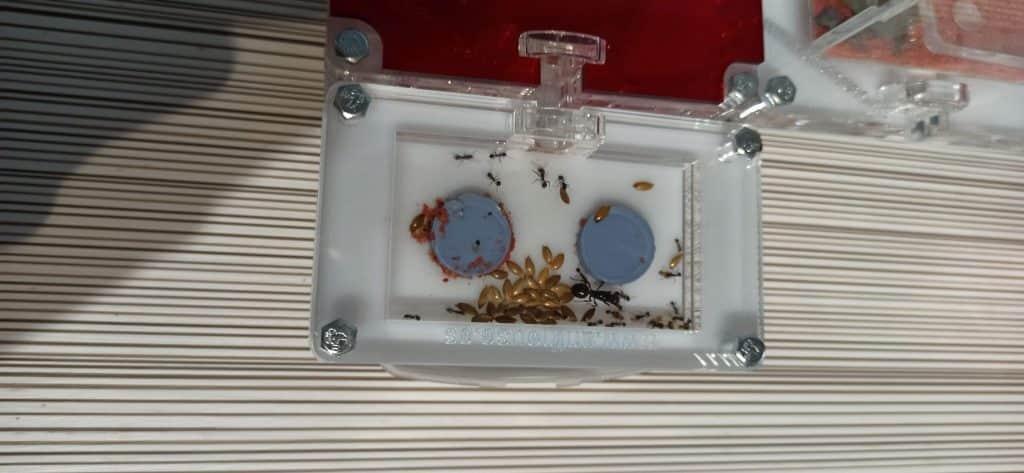colonia de hormigas nueva