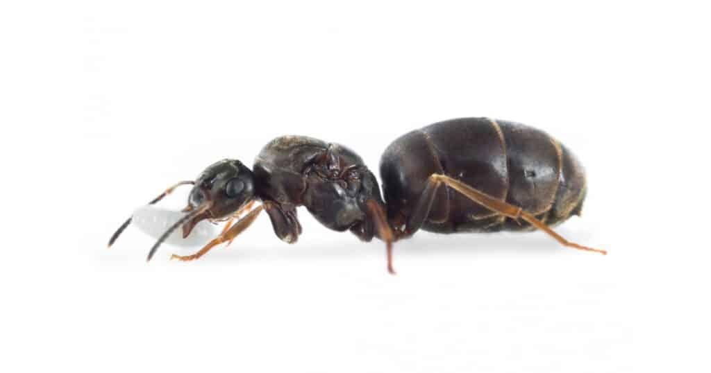 lasius-niger