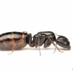 Camponotus_fallax_